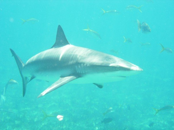 Magnificent Animals: Why Sharks are Good for the Ocean and For Us (5/6)