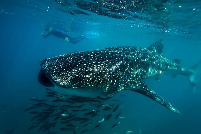 Whale shark.  Photo courtesy of Ralph Lee Hopkins.