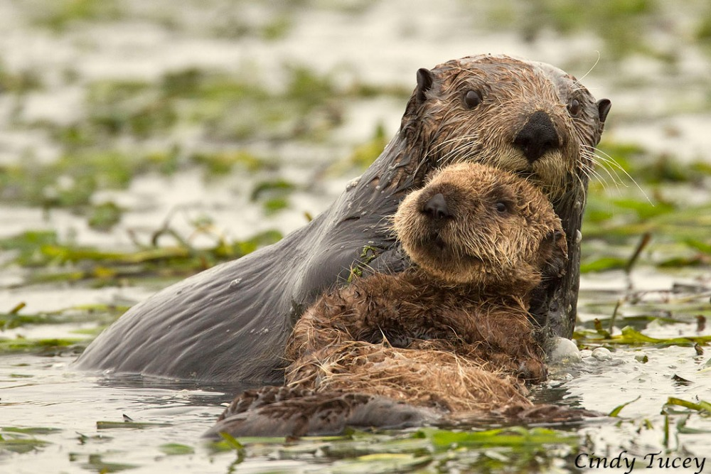 Sea Otters May Return to Southern California (1/5)