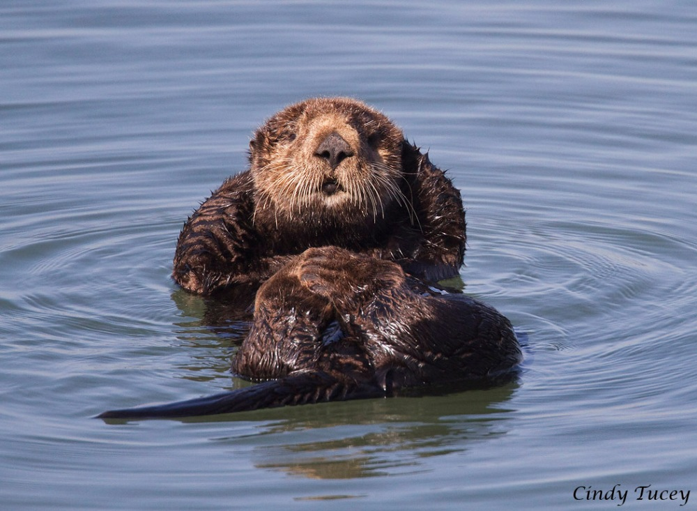 Sea Otters May Return to Southern California (4/5)