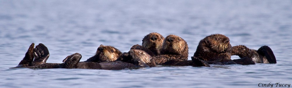 Sea Otters May Return to Southern California (5/5)