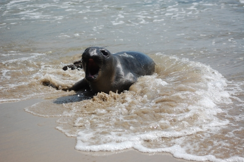 A baby elephant seal shares the stoke.