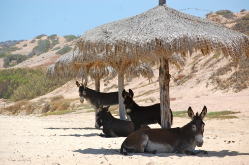 Siesta time for burros in Baja.